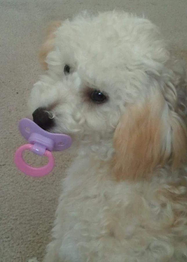 Dog with paci in its mouth