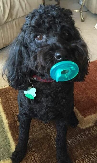 poodle with pacifier in mouth