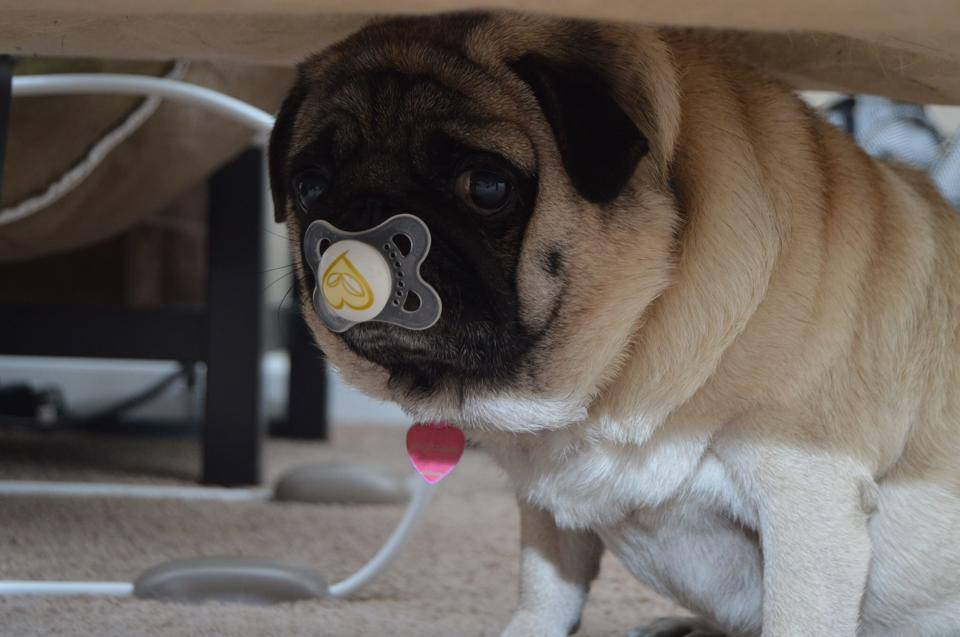 Pug with Pacifier in mouth